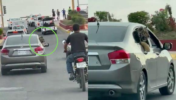 México: Captan a un tigre de bengala paseando en auto por y escena se vuelve viral [VIDEO]