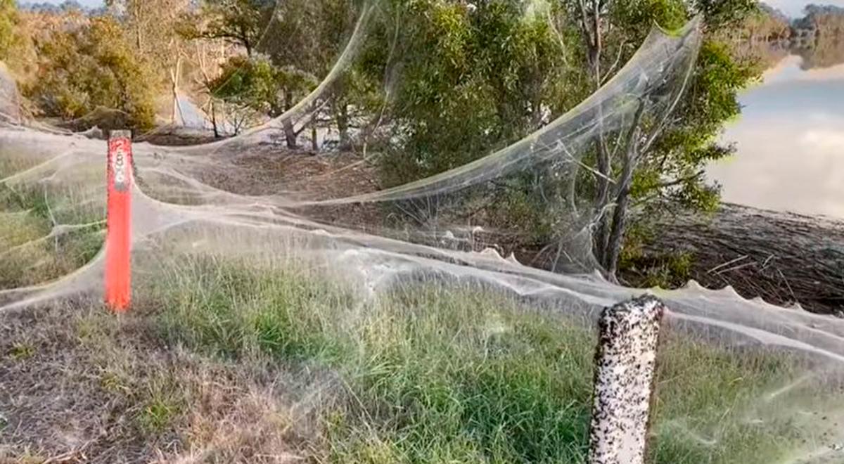 Twitter viral: miles de arañas y sus telas cubrieron un territorio en Australia tras una tempestad