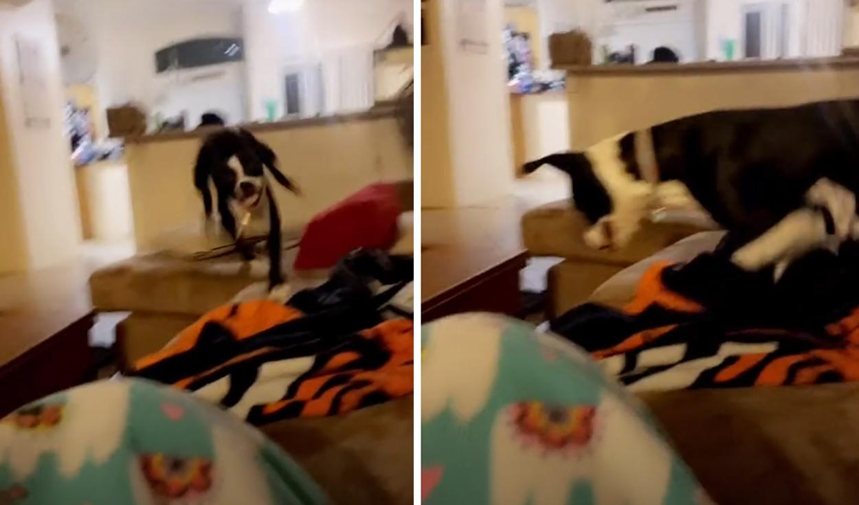 TikTok viral: perrito da una efusiva bienvenida a su dueña luego de estar meses separados