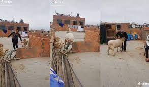 ¡El mejor amigo! Familia peruana cría a un carnero en su techo y aclaran que es su mascota [VIDEO]