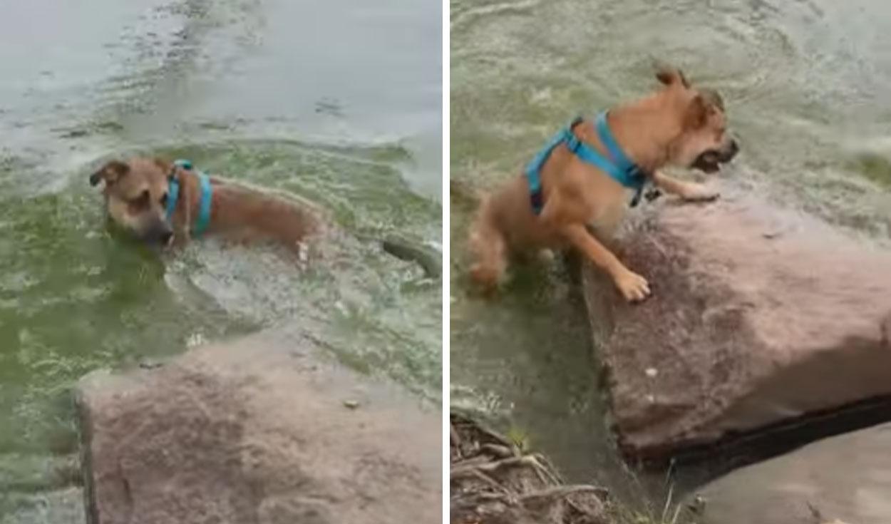 Perrito confundió una rama flotante con una serpiente y salto a un lago [VIDEO]