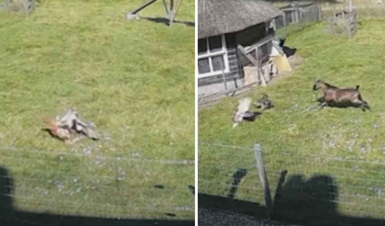 ¡Buenos amigos! Cabra salva a una gallina que iba a ser devorada por halcón