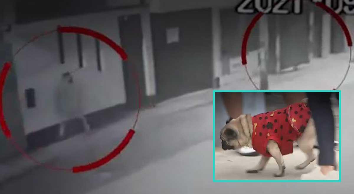 SMP: Perro pug hizo correr a ladrones que intentaron ingresar a una vivienda [VIDEO]