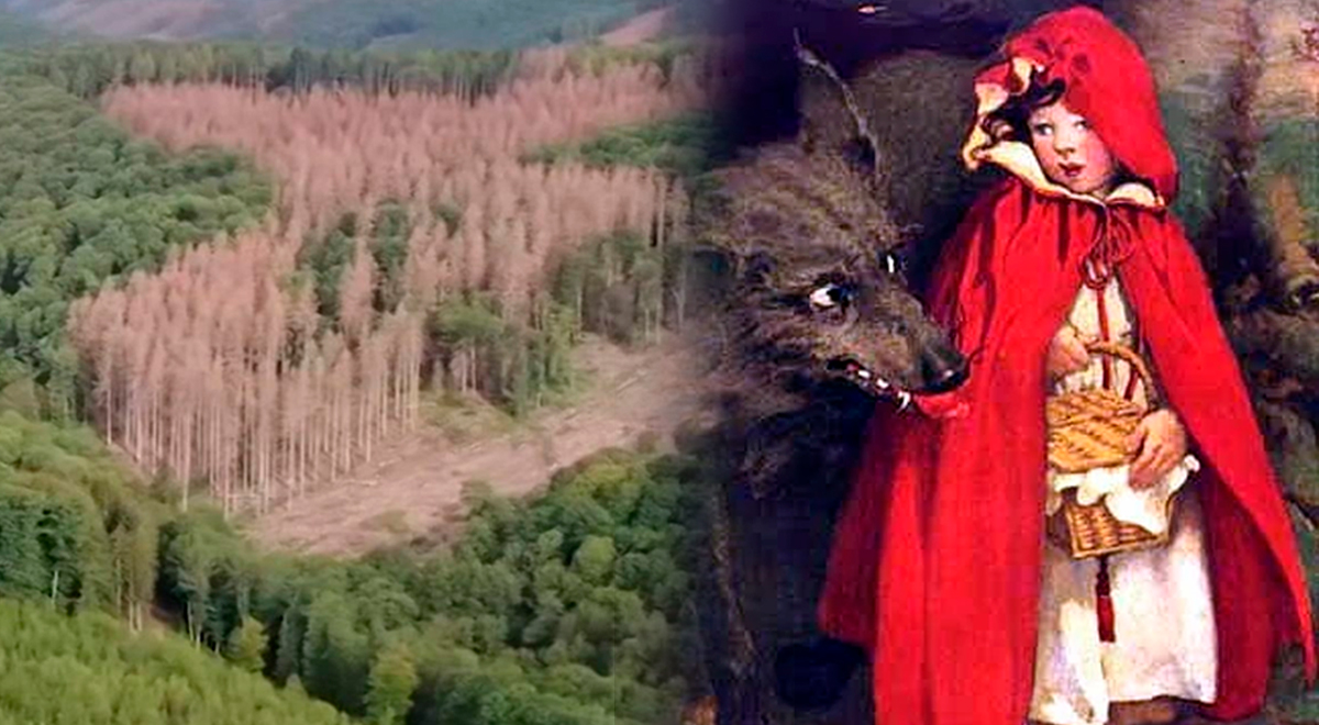 "Bosque del cuento infantil ""La caperucita roja"" está desapareciendo"
